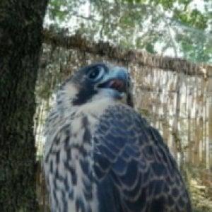 Napoli, il falco Partenope torna a volare in libertà