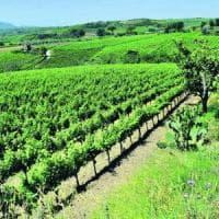 Viticoltura in Campania, allarme clima: