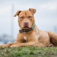 Animale a chi: Le mille domande sul pitbull ucciso a Foria