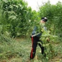 Sequestrate tre piantagioni canapa in Costiera Amalfitana
