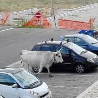 Potenza, mucche in città tra palazzi e automobili