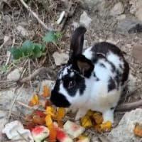 Coniglio ucciso a sassate a Ischia, il sindaco sporge denuncia contro ignoti