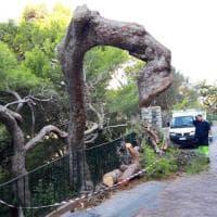 Capri, tagliato lo storico pino di via Tragara: protesta sui social
