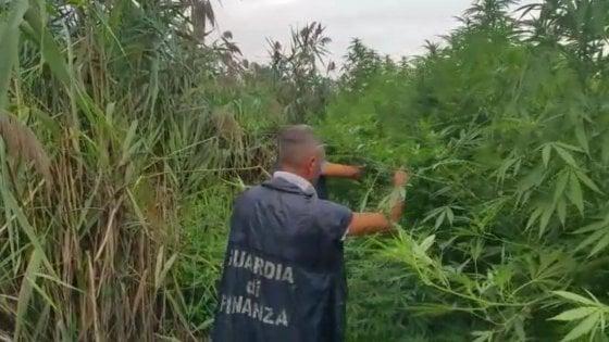 Napoli, scoperta piantagione di marijuana: denunciate 5 persone