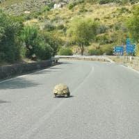 Potenza, grossa tartaruga sulla strada provinciale di Maratea