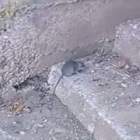 Napoli, la guerra a topi e scarafaggi