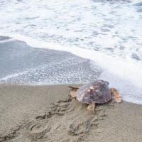"""""""Tradita"""" due volte dalla plastica, la tartaruga Tortano torna libera nel mare di Ischia"""