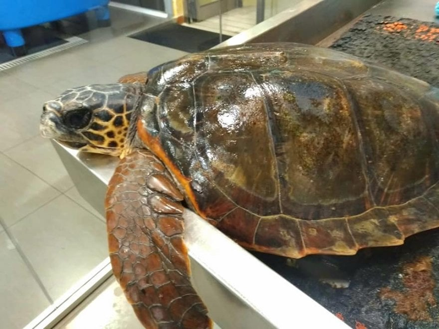 Salerno, intrappolata da lenze e corde: la tartaruga Mya Gaia salvata in extremis