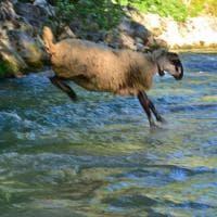 """I tuffi delle pecore nel Sele: si rinnova il rito della """"vagnatura"""""""