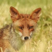"""Riapre l'oasi Wwf di Persano, il """"saluto"""" della volpe"""