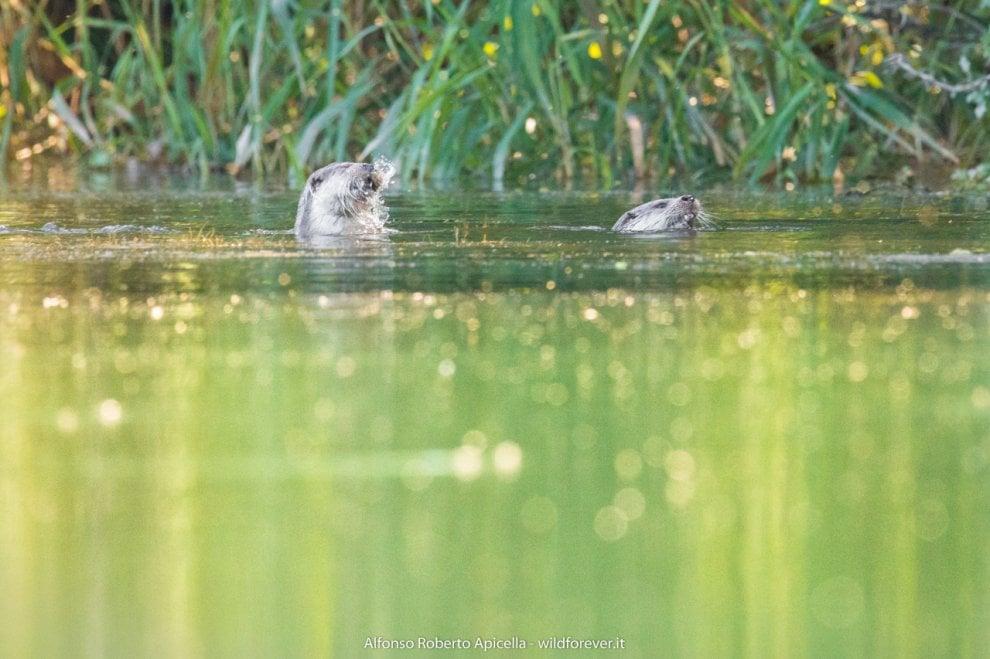 Fiume Sele, ecco le lontre: giochi nell'acqua a portata di obiettivo
