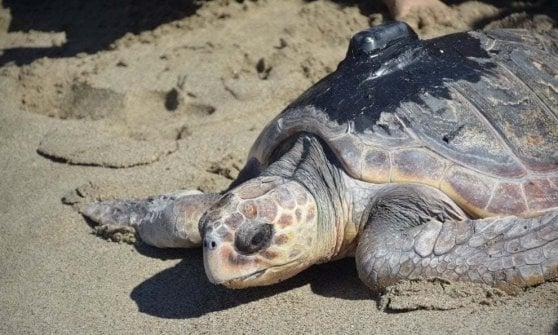 """Dalla Sicilia al golfo di Napoli, """"mappata"""" la seconda vita della tartaruga Fortunella"""