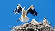 Il primo volo dei piccoli    di cicogna