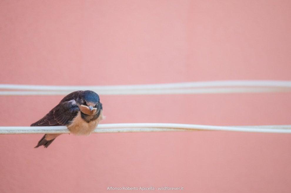 La poesia della natura: il primo volo delle giovani rondini