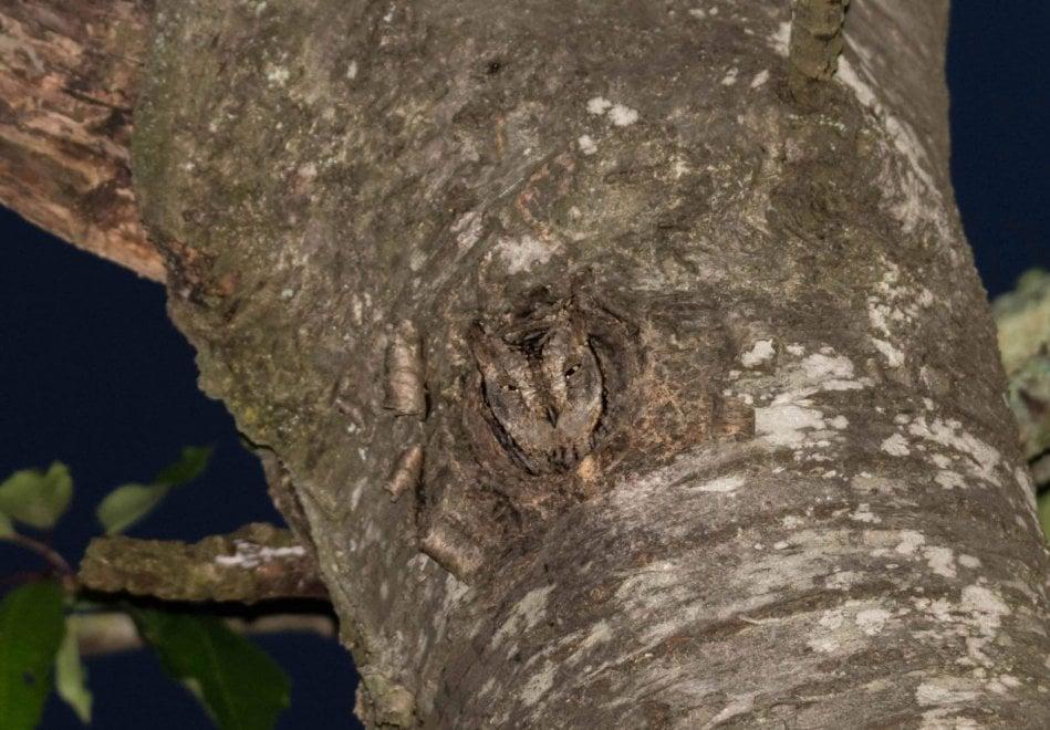 Castel di Sasso, l'assiolo nel tronco è quasi invisibile