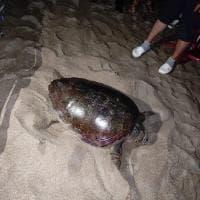 Sorpresa a Baia Domitia, in spiaggia arriva una tartaruga a deporre le uova