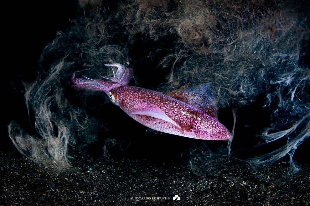 Procida, immersione by night: il calamaro nuota in una nuvola d'inchiostro