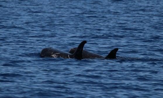 """Ischia, il ritorno dei grampi, è la festa dei """"cugini"""" dei delfini"""
