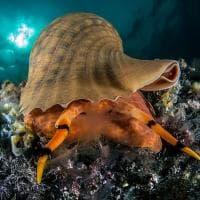 Capri, a tu per tu con il tritone nel mare di Punta Carena