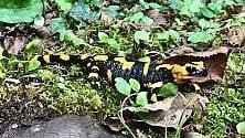 Nel Cilento il regno  delle salamandre pezzate