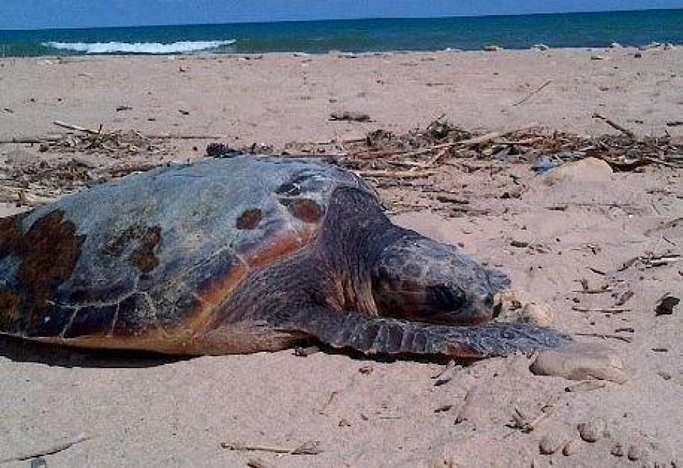 Tre Caretta Caretta morte sulla costa trapanese