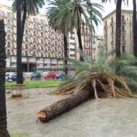 Alberi sradicati a Palermo, cadono le palme del Politeama