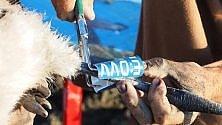 Priolo, i volontari  marchiano i pulcini  di fenicottero