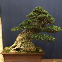 Bonsai: a Carini il weekend della natura in miniatura
