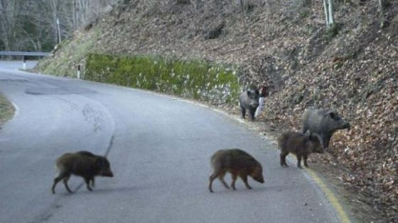 Parco delle Madonie, autorizzato l'abbattimento dei cinghiali