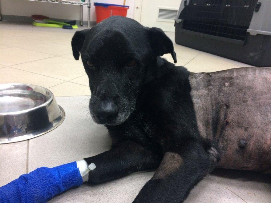 Migliorano le condizioni di Leo, il cane di Favignana ferito a fucilate