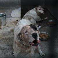 Catania, bimbo muore sbranato dai due cani di famiglia a Mascalucia