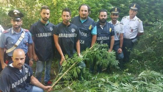 Maxi piantagione di marijuana a Camporeale, tre arresti