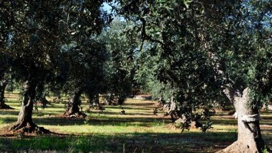 Coldiretti: crollo storico nella produzione di olio di oliva, Sicilia giù del 40 per cento