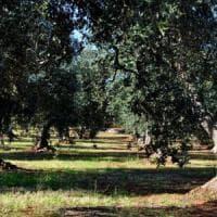 Coldiretti: crollo storico nella produzione di olio di oliva, Sicilia giù