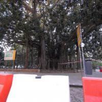 Il grande albero ottocentesco divenuto simbolo di Palermo