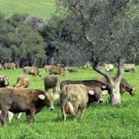 In Sicilia spariti 500mila capi di bestiame: è allarme sul mercato nero della carne