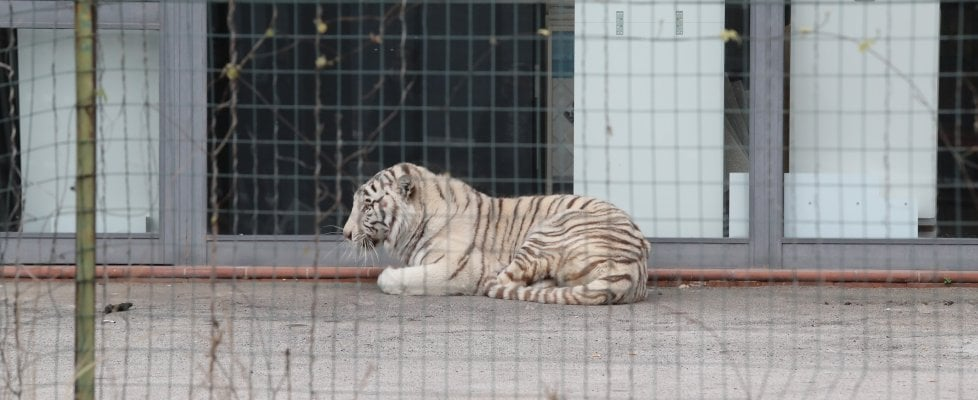 Monreale: tigre fugge dal circo, si rifugia in parcheggio. Catturata da due domatori