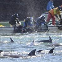 Eolie: delfini mangiano il pescato, sciopero a oltranza dei pescatori