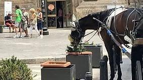 Centro storico, il cavallo ha fame mangia le piante del percorso Unesco