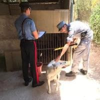 Palermo: canile abusivo scoperto allo Zen