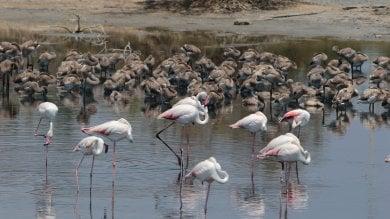 Priolo: il fenicottero rosa fa il nido  nell'oasi vicina al petrolchimico