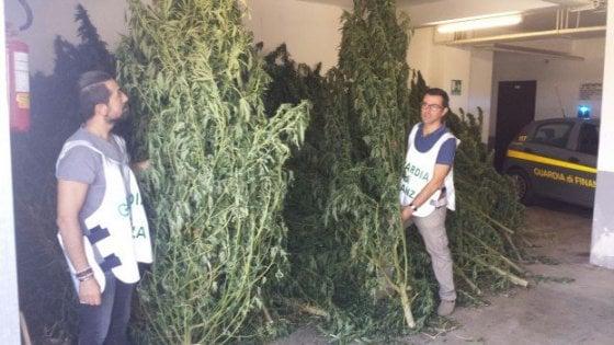 Coltivava cannabis indica nel giardino di casa. Arrestato 48enne