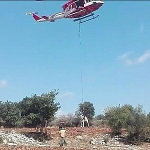 Siracusa, mucca cade in un burrone: salvata dai vigili con l'elicottero