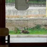 Palermo, cinghiale irrompe nel giardino di una scuola e viene abbattuto