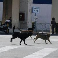 Caltanissetta, uomo aggredito da un branco di cani: salvato da un automobilista