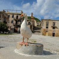 L'oca-custode di Poggioreale che accompagna i visitatori fra le rovine del Belice