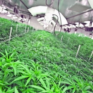 Palermo, scoperta maxi-piantagione di cannabis: arrestato un giovane