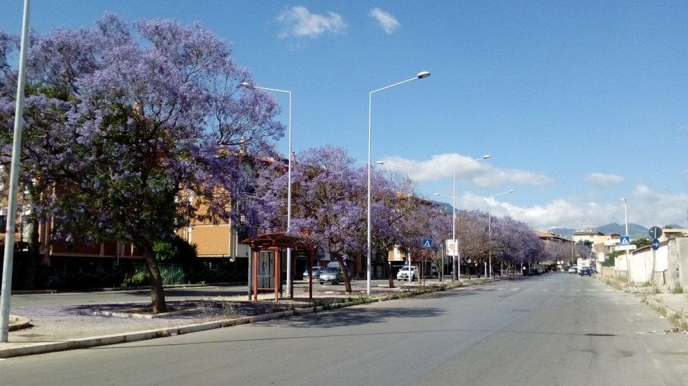 Palermo come i Tropici: da Falsomiele a corso Tukory filari di jacaranda blu in fiore