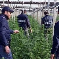 Trapani, scoperta una maxi-piantagione di canapa indiana: un arresto