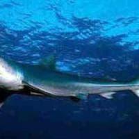 Paura sulla spiaggia di Sciacca: spuntano due squali